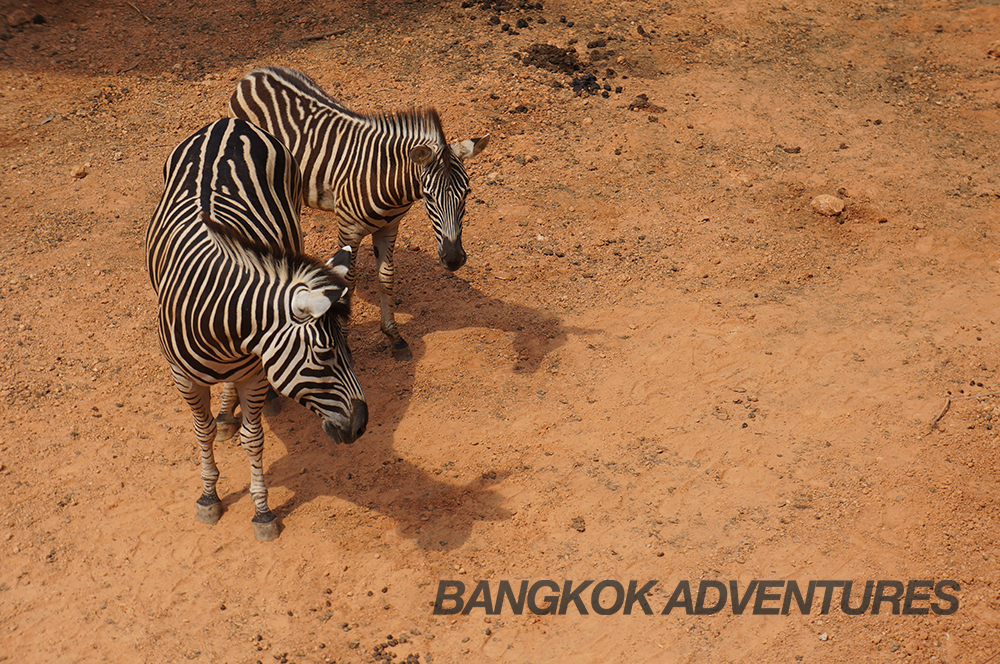 Zebras at Dusit Zoo in Bangkok