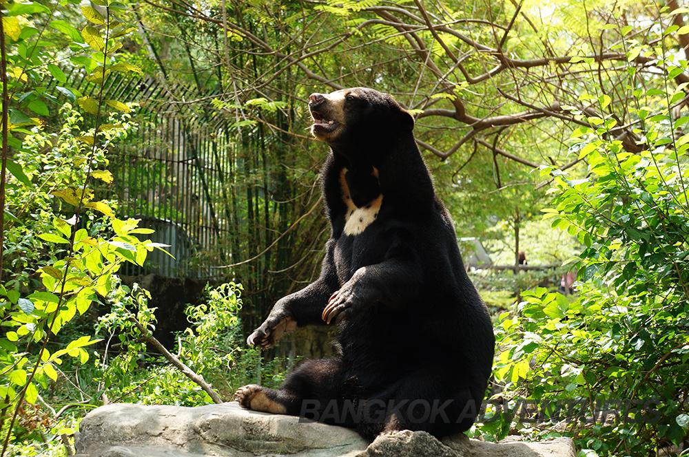 Bear at Dusit Zoo, Thailand
