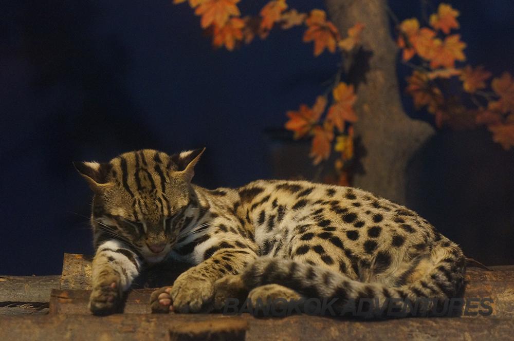 Exotic cats at Dusit Zoo, Bangkok, Thailand