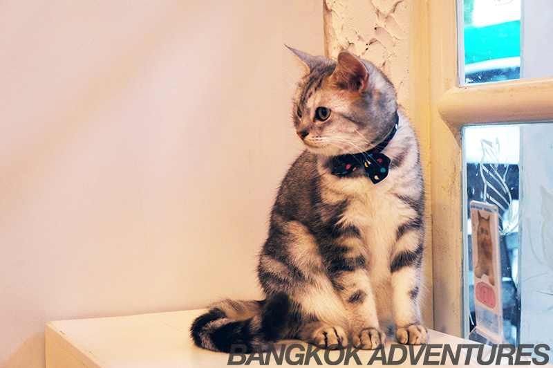Hipster cat at the Caturday Cat Cafe in Bangkok
