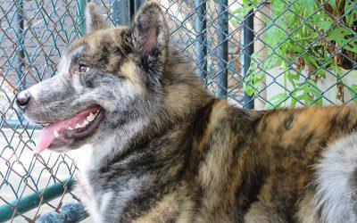 True Love Husky Cafe: A Cafe For Dog Lovers In Bangkok
